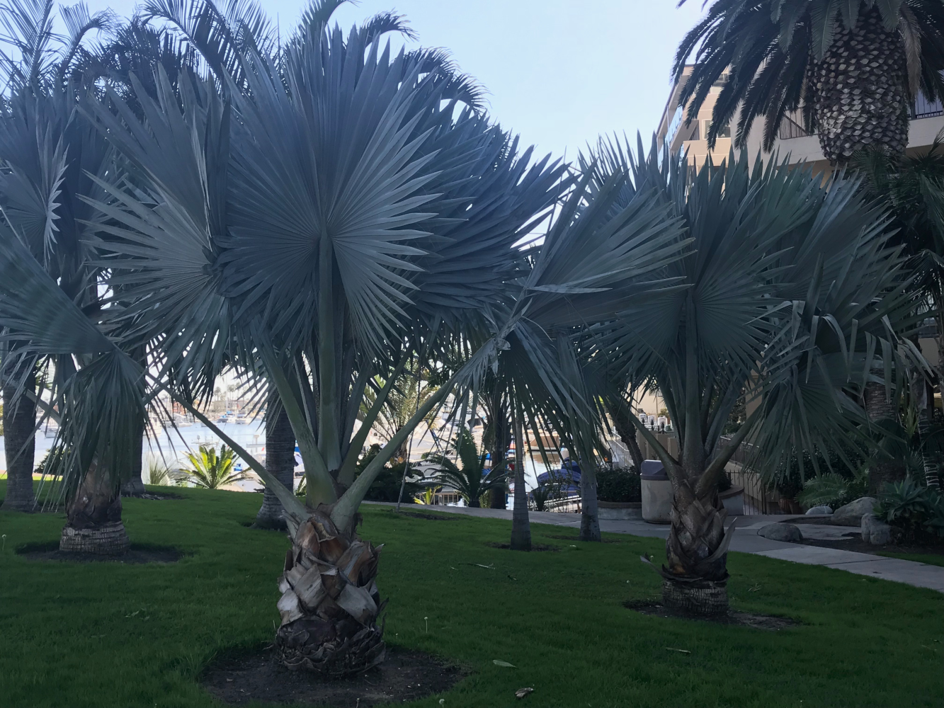 Bismarck palms located on water