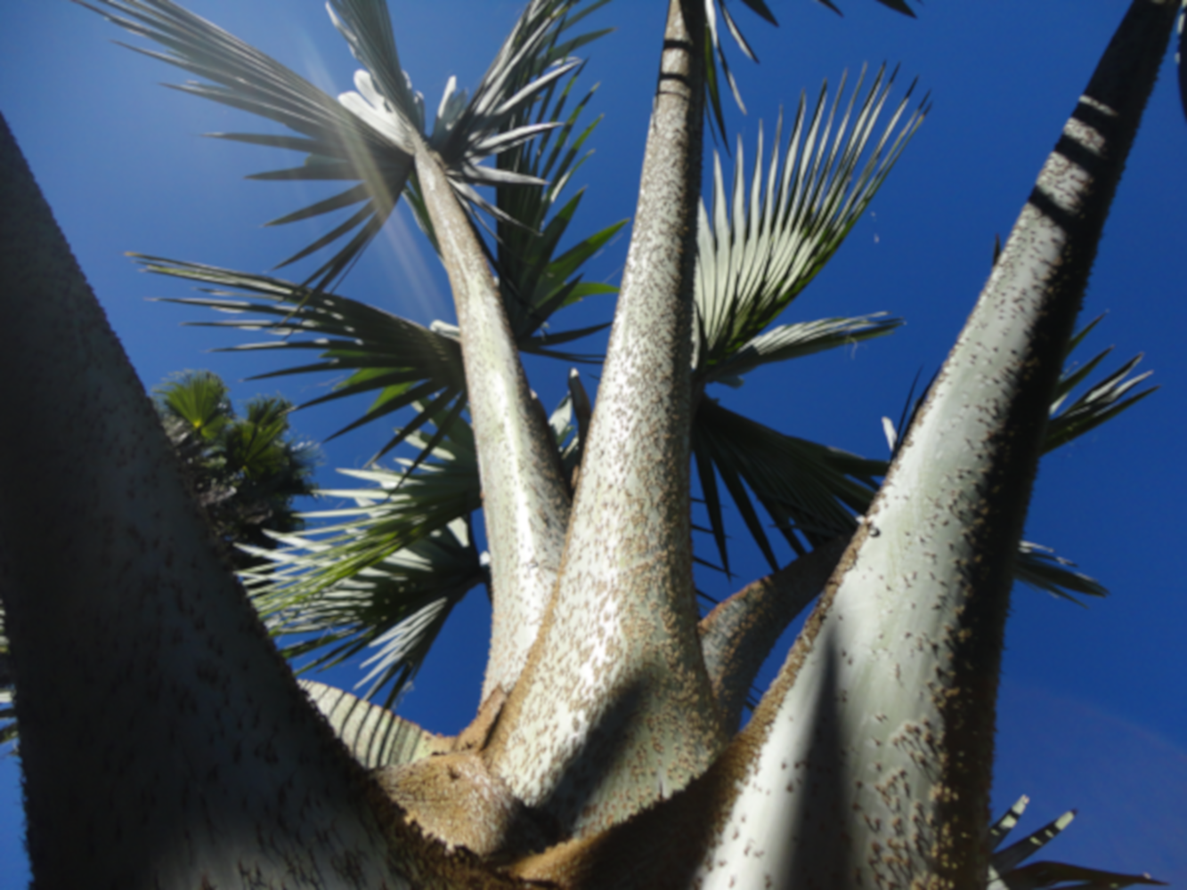 Bismarck Palm petioles