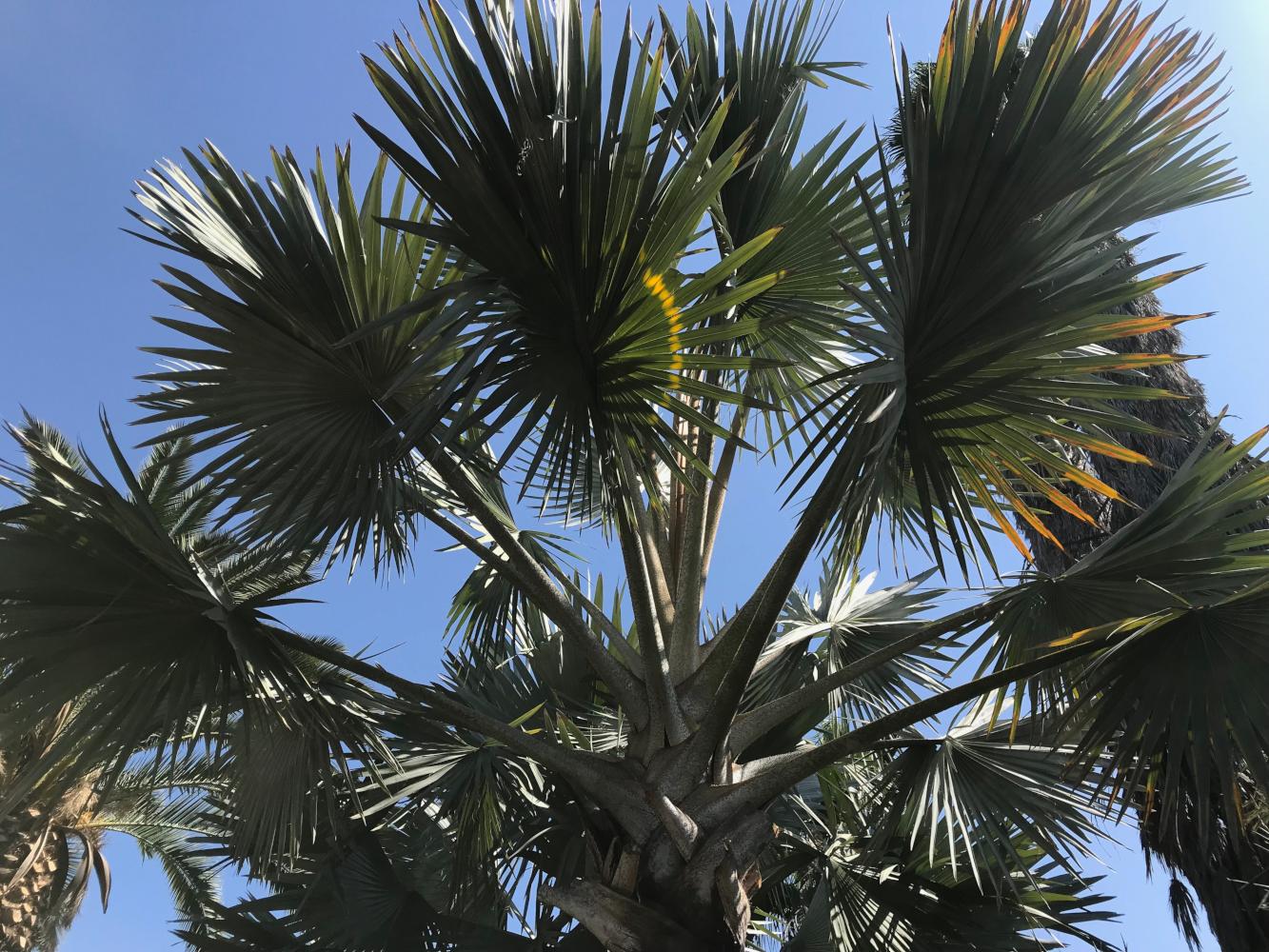 Bismarck Palm canopy