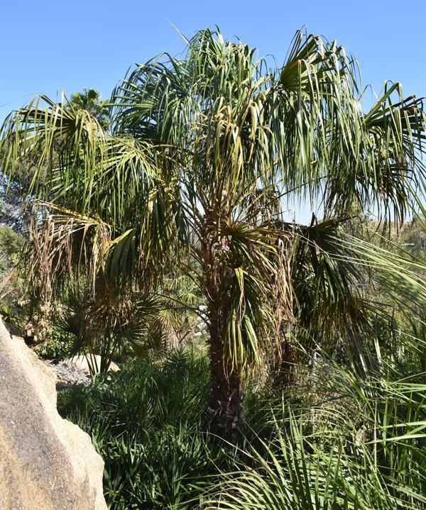 Livistona Decipiens Ribbon Fan Palm