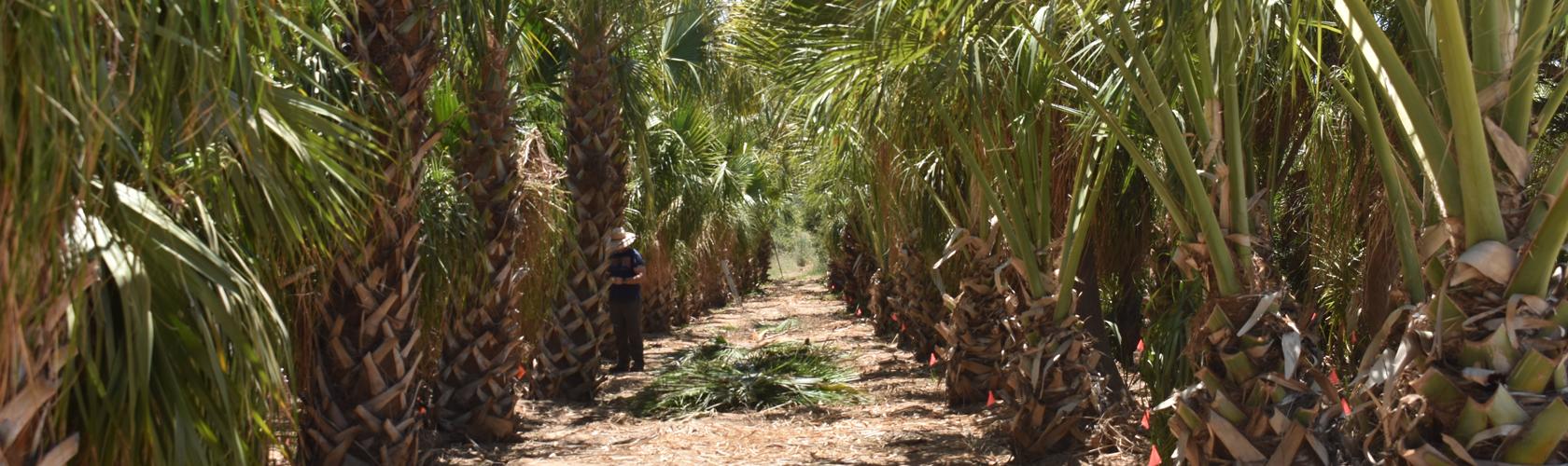 Row of Sabal palm trees at Madera grove