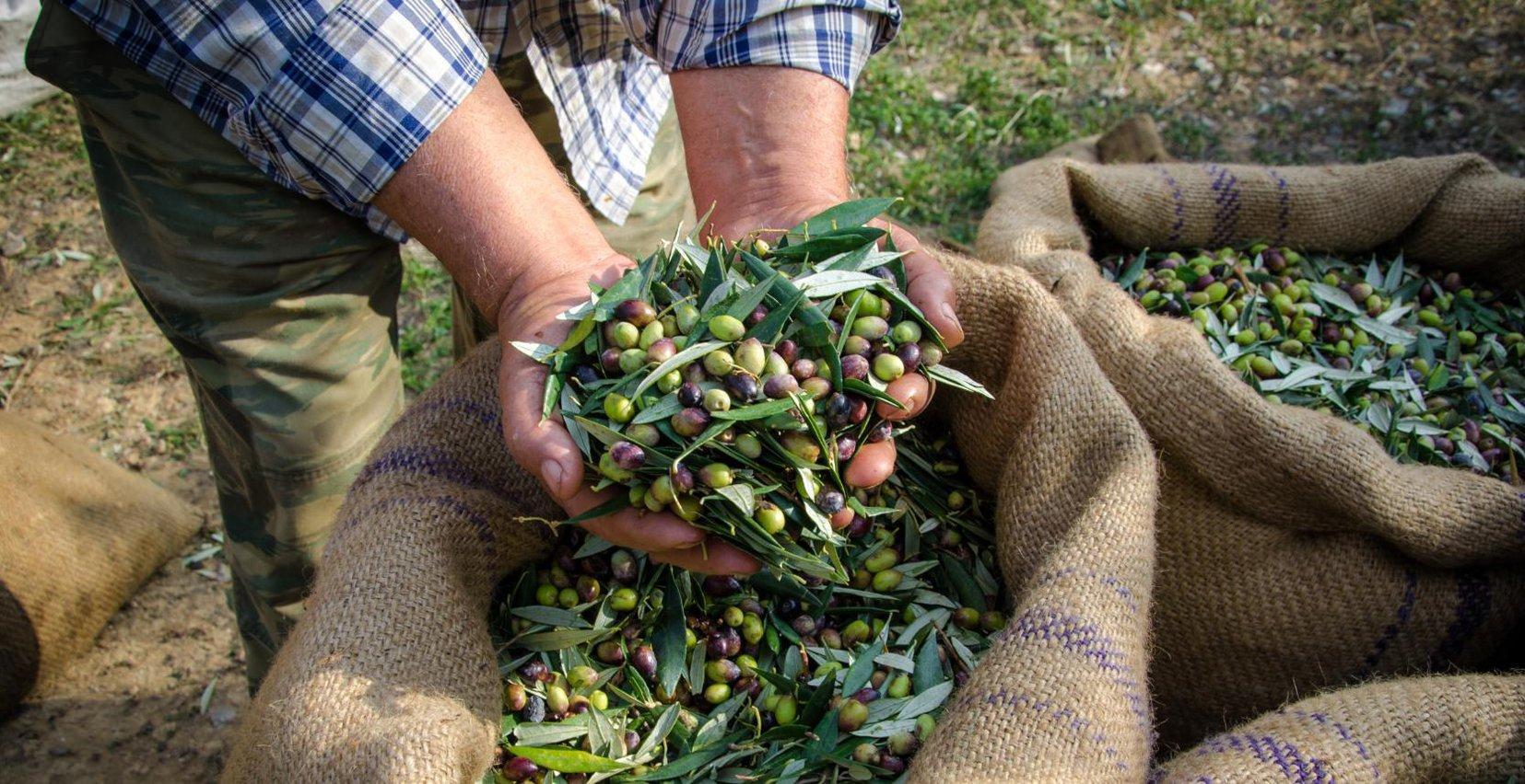 Olives gathering