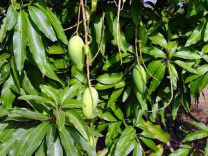 manfaat-daun-mangga