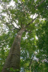 manfaat kayu meranti