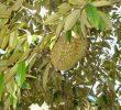 6 Manfaat Daun Durian Untuk Kesehatan