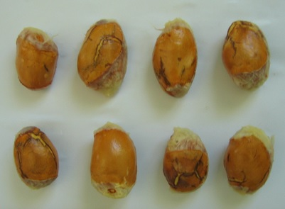10 Manfaat Biji Durian – Bagi Kesehatan
