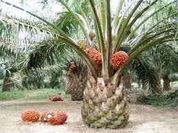 manfaat kelapa sawit