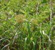 9 Manfaat Rumput Teki untuk Kesehatan