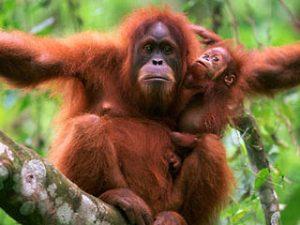 manfaat orangutan