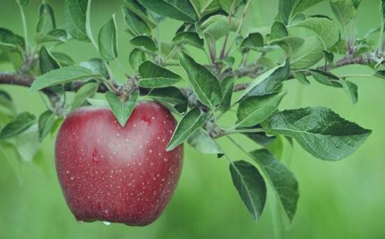 daun apel