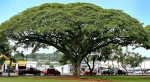 manfaat pohon trembesi