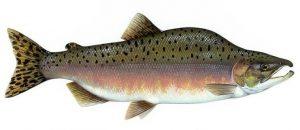 ikan salmon chum