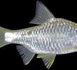 4 Manfaat Ikan Tawes untuk Kesehatan