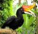 7 Manfaat Burung Rangkong Untuk Hutan dan Upacara Adat