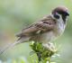 14 Manfaat Burung Gereja Untuk Lingkungan dan Kesehatan