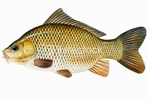 5 Manfaat Ikan Juaro Untuk Meningkatkan Daya Imun