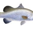 5 Manfaat Ikan Cukil alias Kakap Putih untuk Kesehatan Manusia