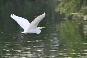 4 Manfaat Burung Bangau Untuk Kesehatan