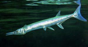 Ikan cendro