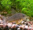 Manfaat Ikan Corydoras Untuk Kebersihan Aquarium dan Pembuatan Kosmetik
