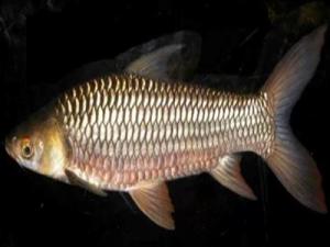 Manfaat Ikan Jelawat