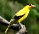 10 Manfaat Burung Kepodang Untuk Lingkungan dan Kesehatan
