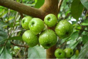 manfaat buah loa