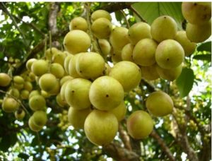 Buah rambai berasal dari pohon rambai atau jenis flora yang mempunyai nama latin  10 Manfaat Buah Rambai Pada Kesehatan