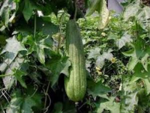 Tanaman gambas atau juga dikenal dengan oyong merupakan tumbuhan yang dapat dipakai seluru 15 Manfaat Daun Gambas Untuk Semua Masalah Kulit dan Penyakit