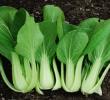 9 Manfaat Daun Caisim Untuk Makanan dan Pengobatan