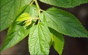Daun seri merupakan salah satu daun yang terdapat di Indonesia yang di mana daun tersebut  26 Manfaat Daun Seri untuk Kesehatan