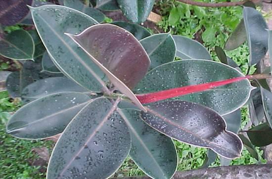 5 Manfaat Pohon Rambung Merah untuk Kesehatan