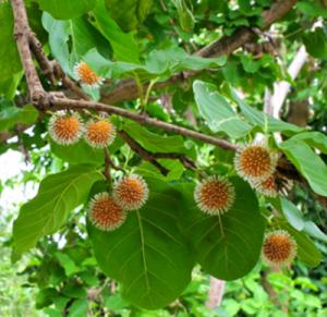 Manfaat Pohon gempol