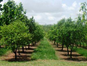 Pohon cendana merupakan salah satu pohon yang gampang sekali ditemui di Nusa Tenggara Timur 5 Manfaat Pohon Cendana untuk Segala Manfaat