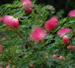 6 Manfaat Pohon Kaliandra