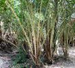 4 Manfaat Pohon Rotan dengan Beragam Manfaat