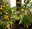 7 Manfaat Lemon Cina Papua Yang Baik Untuk Kesehatan