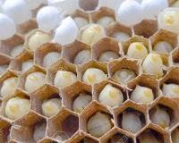 Manfaat Telur Lebah