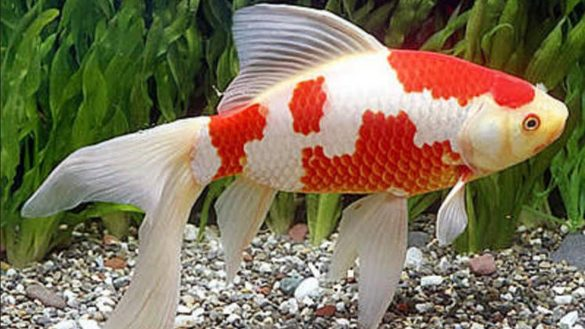 7 Manfaat Ikan Komet untuk Menenangkan Fikiran