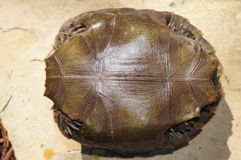 Southern Mountain Tortoise, Manouria emys emys Plastrons