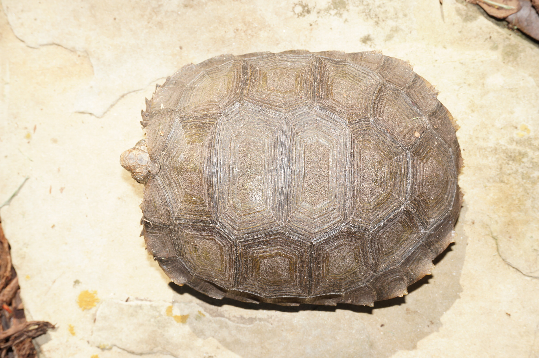 Southern Mountain Tortoise, Manouria emys emys Carapaces