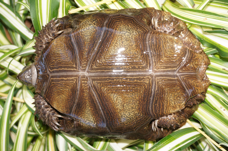 Northern Mountain Tortoise, Manouria emys phayrei Plastrons