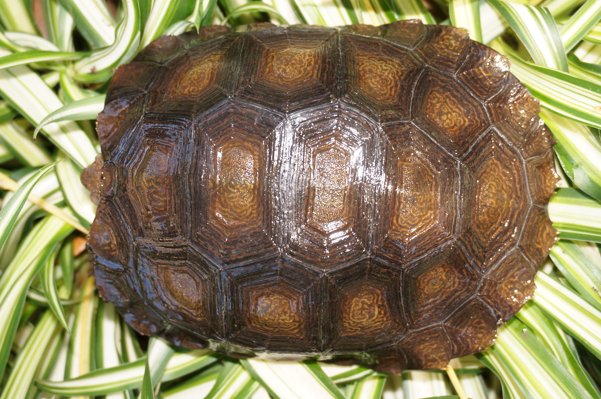Northern Mountain Tortoise, Manouria emys phayrei Carapaces