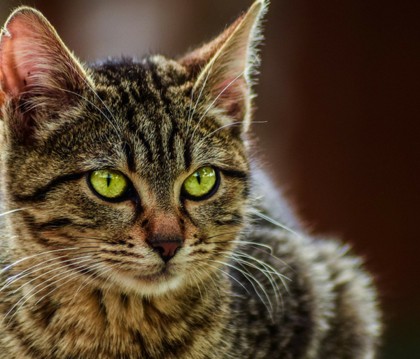 gatos que muerden a sus dueños