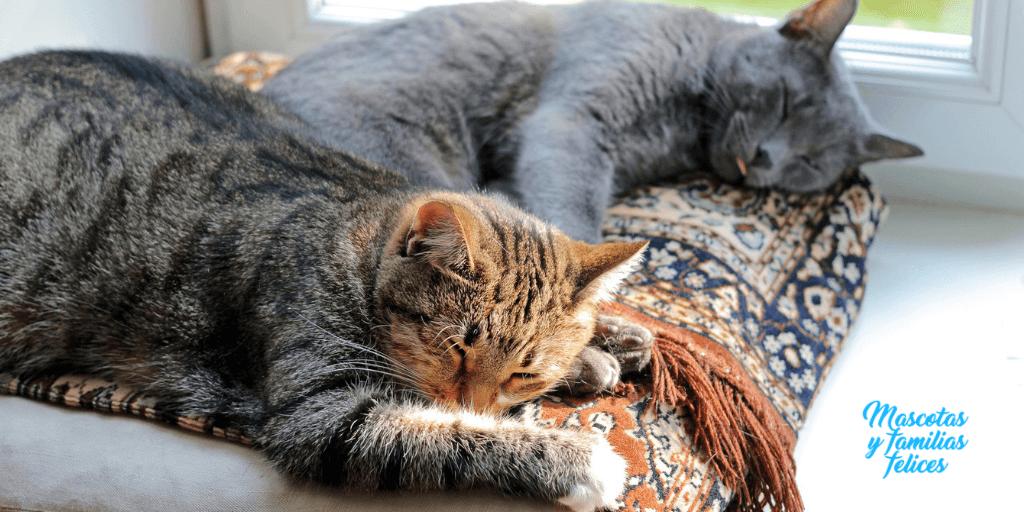 presentar gatos