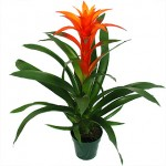 Enviar flores a domicilio, la guzmania