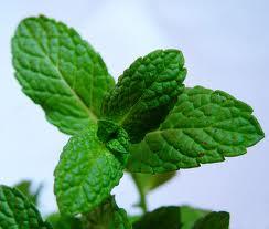 plantas-aromaticas-menta