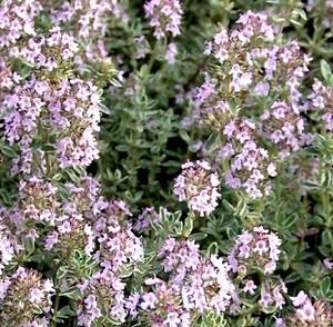 plantas-aromaticas-tomillo