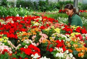 flores-mayo