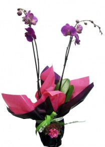 Orquidea-Phalenopsis-preparada